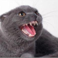 Когда у котов меняются зубы