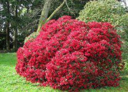 красиви цъфтеж мразоустойчив ниски декоративни храсти