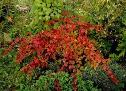 ниски декоративни храсти за градината