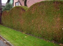 Живо декоративна ограда