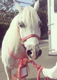 Леди Гага увидела на пороге своего дома белую лошадку с бантиком
