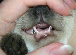 смена зубов у кошек 1