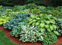 Многогодишни декоративни растения за градината