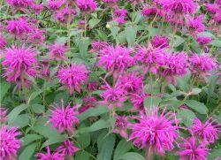 монарда цветок лечебные свойства