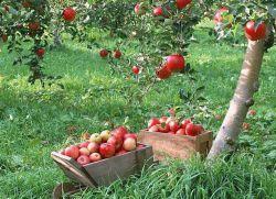 Овощни дръвчета и храсти за градината парцела