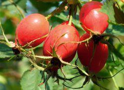 Плоды шиповника – лечебные свойства и противопоказания