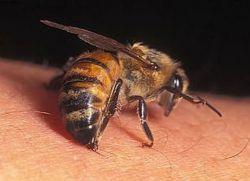 Почему пчелиный яд является лекарством?