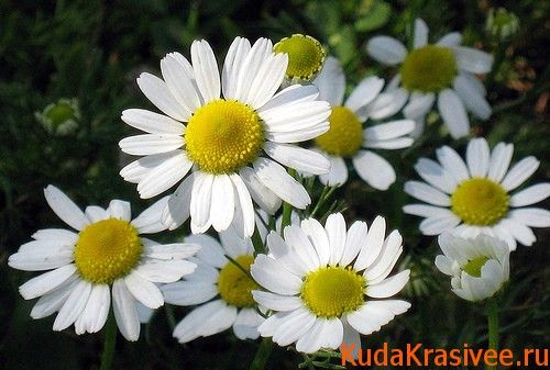 А помочь нам может этот скромный цветок, нужно только приготовить отвар...