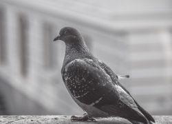 Примета – голубь сел на окно