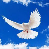 Примета: голубь стучится в окно