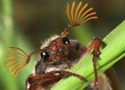 Примета - много майских жуков