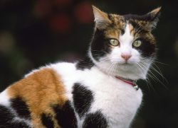 Трехцветная кошка - приметы