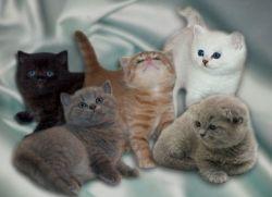 Прививки котятам шотландцам
