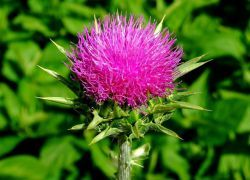 Расторопша – полезные свойства и противопоказания