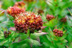 Родиола розовая – лечебные свойства и противопоказания