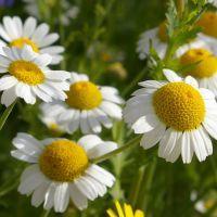 Ромашка - лечебные свойства и противопоказания