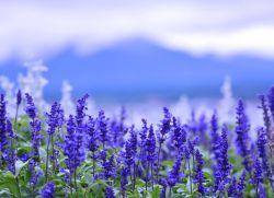 Шалфей – лечебные свойства и противопоказания