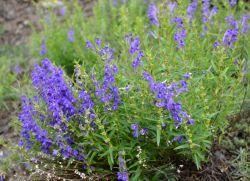 Шлемник байкальский – лечебные свойства и противопоказания