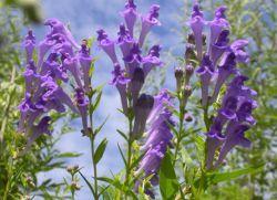 Шлемник байкальский – лечебные свойства
