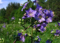 Синюха голубая – применение и противопоказания