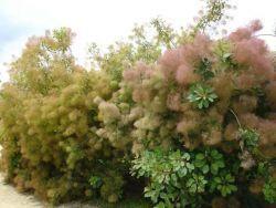 смрадлика храст