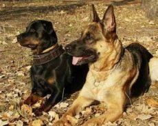 лучшая порода собак для охраны