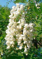 Софора японская – лечебные свойства и противопоказания