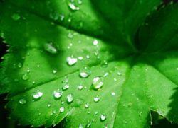 Сок листьев лопуха – полезные свойства и противопоказания