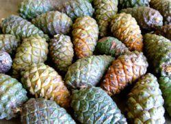 Сосновые шишки от инсульта – рецепты