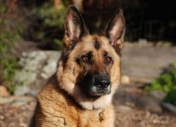 Сторожевые собаки для частного дома