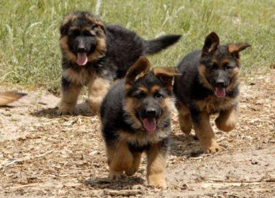 Сторожевые собаки для частного дома4