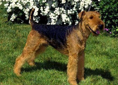 Сторожевые собаки для частного дома5
