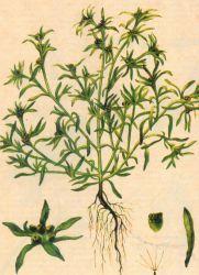 Сушеница лечебные свойства и противопоказания