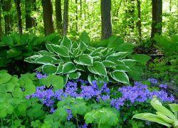сянка обичащи многогодишни цветя за градината