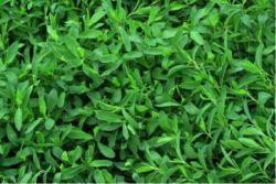 Трава спорыш – применение