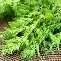 трава укропа полезные свойства и противопоказания