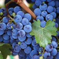 Виноград изабелла - польза и вред
