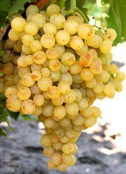 Виноград кишмиш - польза и вред