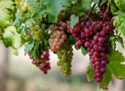 Виноград - сонник