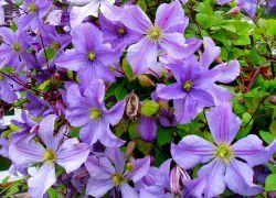 Увивни растения за градината