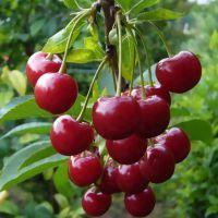 Войлочная вишня - полезные свойства