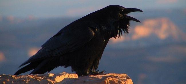 Ворона напала на человека – примета