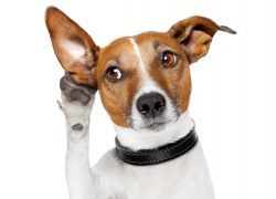 Запах из ушей у собаки