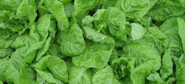 Зеленый салат – полезные свойства