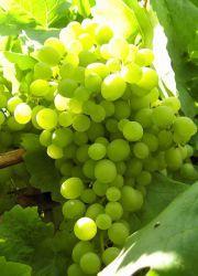 Зеленый виноград - польза и вред