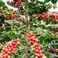 Зелёный кофе для похудения: фото