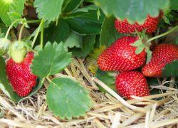 Земляника садовая – посадка и уход