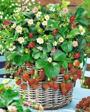 Земляника садовая: сорта