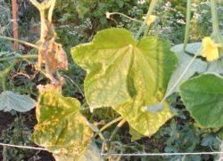 Желтеют листья огурцов в теплице – что делать?