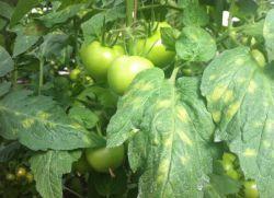 Желтые пятна на листьях помидоров в теплице
